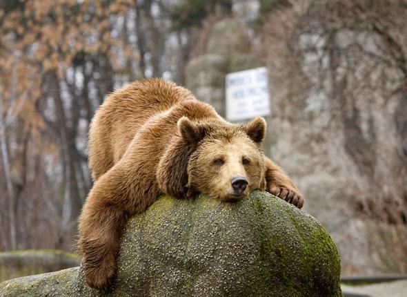 Un Ours Brun se prélasse sur son roché au zoo de Varsovie
